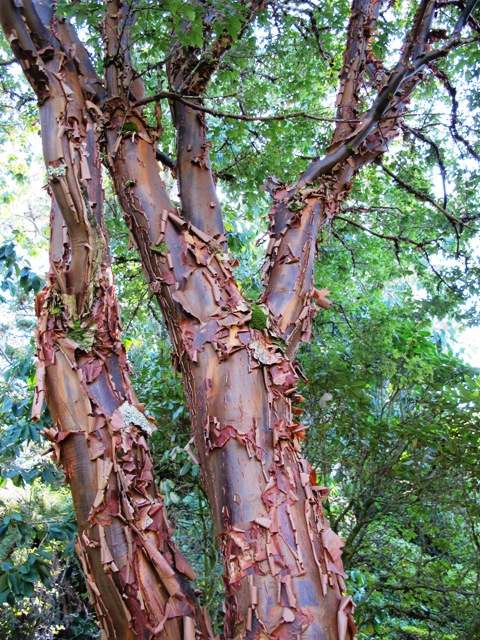 Acer griseum - it's mostly about the wonderful bark
