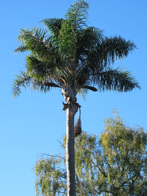 The towering Queen Palm, or Syagrus romanzoffiana growing in coastal Taranaki