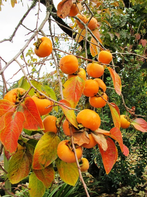 The persimmon - worth growing as an ornamental even if the fruit is not to one's taste