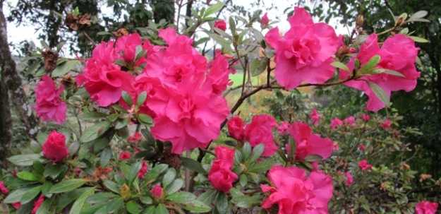 The evergreen azaleas are gently flowering already and will continue through til spring