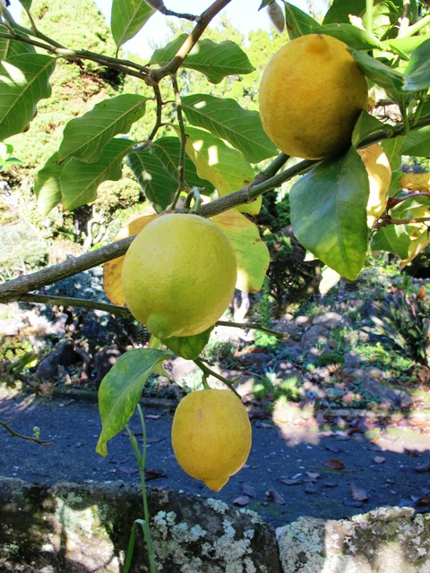 The modest lemon - common in many NZ gardens