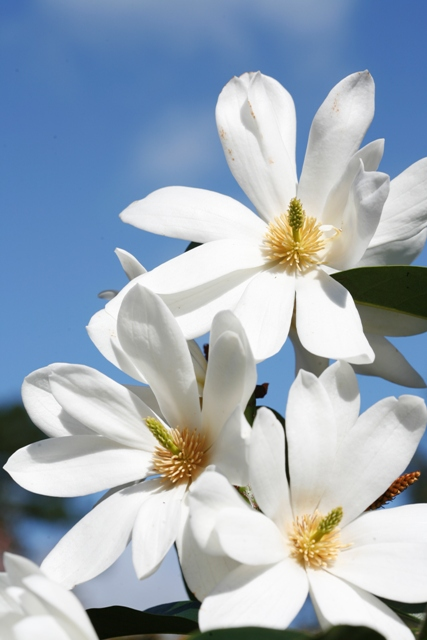 Our new star - Fairy Magnolia White to be released this year
