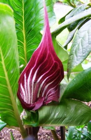 Hybrid arisaemas for our own garden