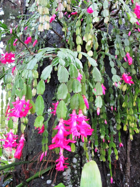 Plant Collector: zygocactus or Schlumbergera (probably ... on