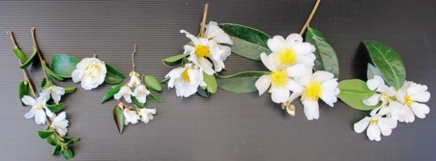 Left to right: C. microphylla,  sasanqua Silver Dollar, transnokoensis, drupifera, gauchowensis, yuhsienensis