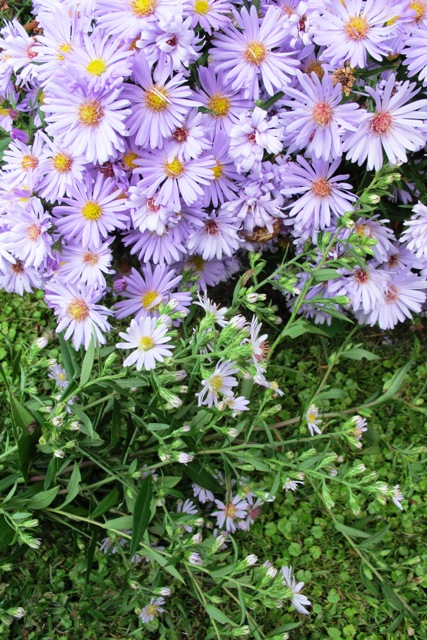 Named hybrid aster at top, self sown seedling at bottom