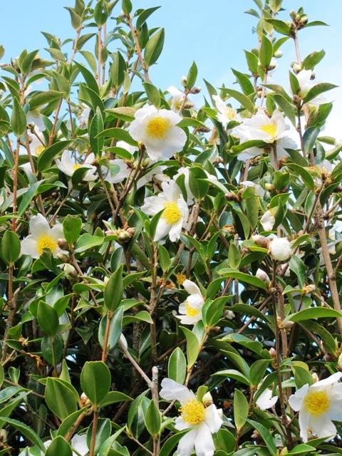 Species Camellia gauchowensis