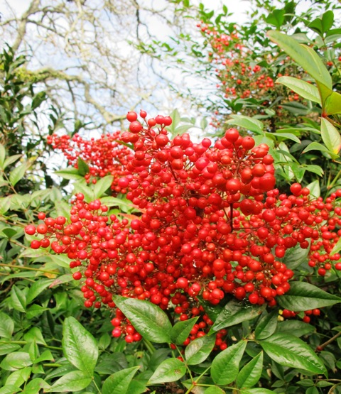Orange berries all winter on Nandina domestica 'Richmond'