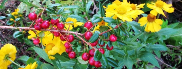 Ugni molinae or NZ cranberry