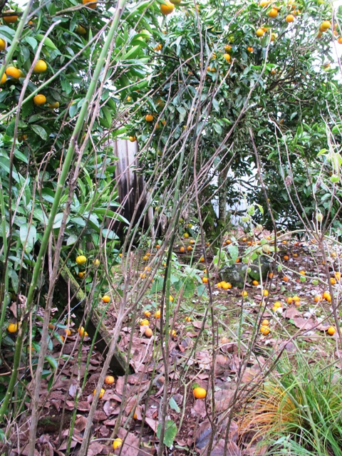 Not such a great view in winter, but what can we expect? Navel orange trees. swan plants (for the monarch butterflies) and physalis