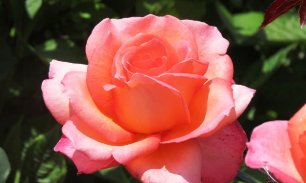 Paddy Stephens - the top ranked rose overall. Again. (Photo: NZ Rose Soc)