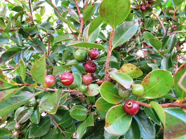 Psidium littorale or strawberry guava