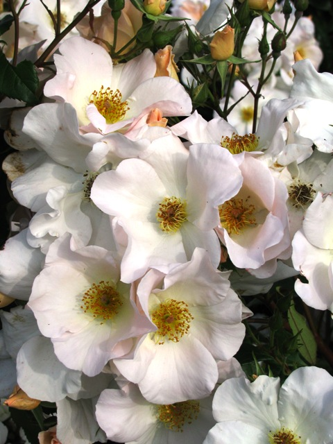 Sally Holmes - tried, true and still a top ranked variety (photo: NZ Rose Soc)