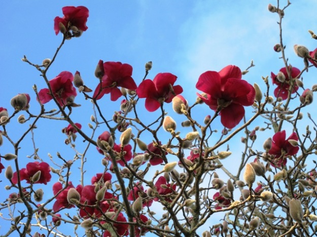 Those who shun deciduous plants miss out on the wonder of plants like Magnolia Vulcan