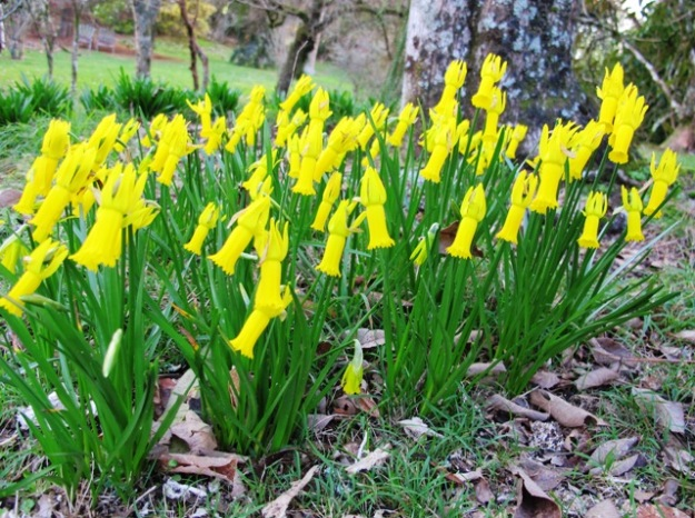 If narcissus could look startled, these cyclamineus  growing in the park certainly do