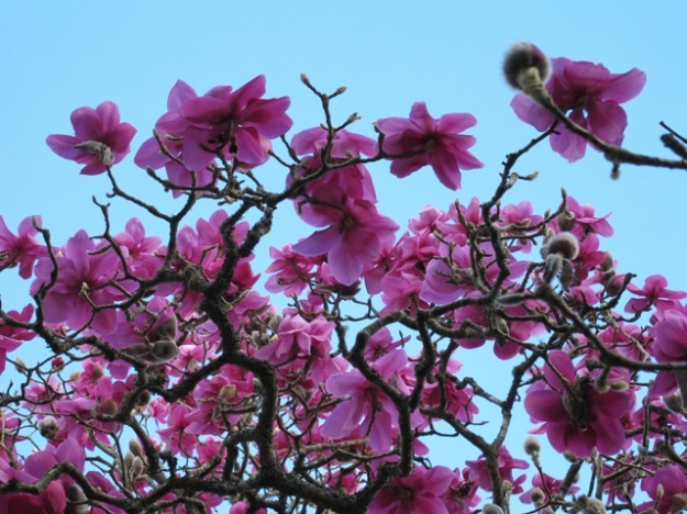 Magnolia Lanarth has a short but glorious season
