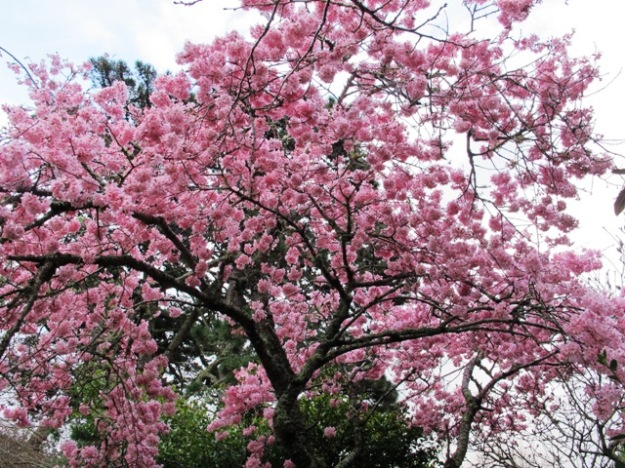 Prunus Pink Clouds - one of the sterile forms raised here by Felix Jury