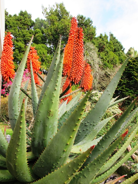 Aloe ferox - very orange and loved by waxeyes at this time of year