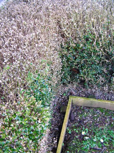 The dreaded buxus blight - but not in our garden