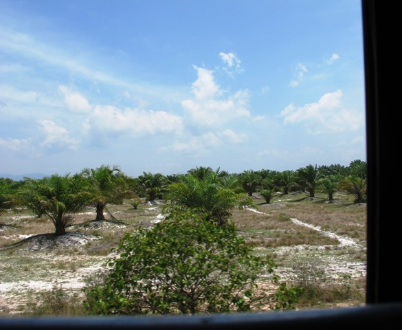 Palm oil - the increasingly common monoculture of some Asian countries