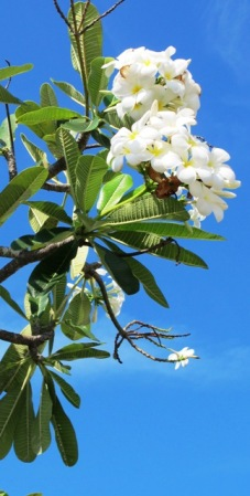 Frangipani - usually seen as a hotel garden plant