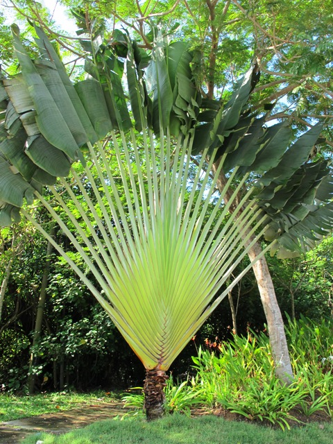 The two dimensional traveller's palm is in fact not a palm at all (Ravenala madagascariensis,)