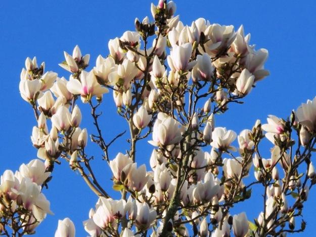 Magnolia Manchu Fan