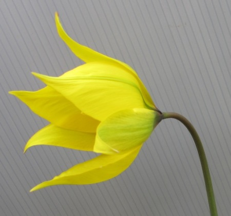 Indubitably tulip, but we have no name on it and it never increases.