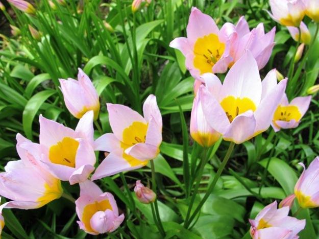 Tulips from Crete - T. saxatilis