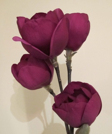 Black Tulip - the first of the second generation red magnolias