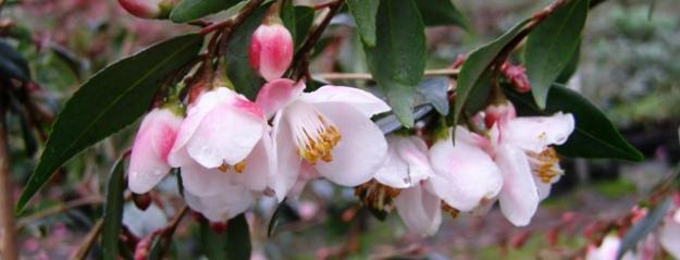 Camellia minutiflora