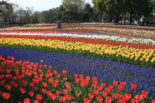 I went looking for a photo of tulip fields in Holland and found instead this one of tulip fields in Japan, pretending they are in Holland!