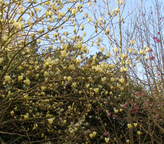 Magnolia Yellow Fever planted on our road boundary