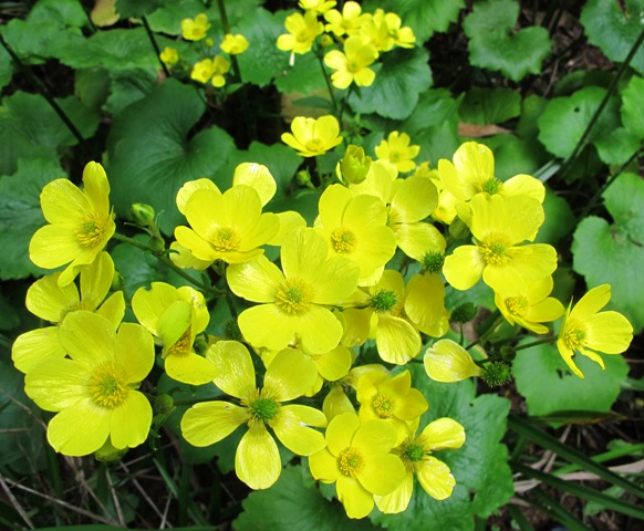 Not the ordinary field buttercup, Ranunculus cortusifolius