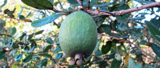 Feijoas! Definitely an option for road verge plantings
