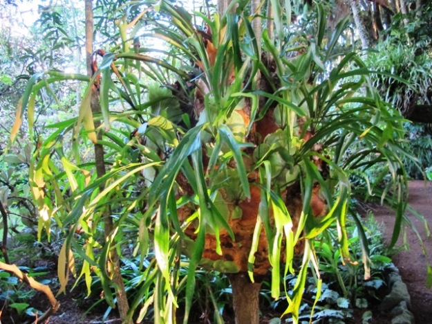 Our giant staghorn fern or platycerium
