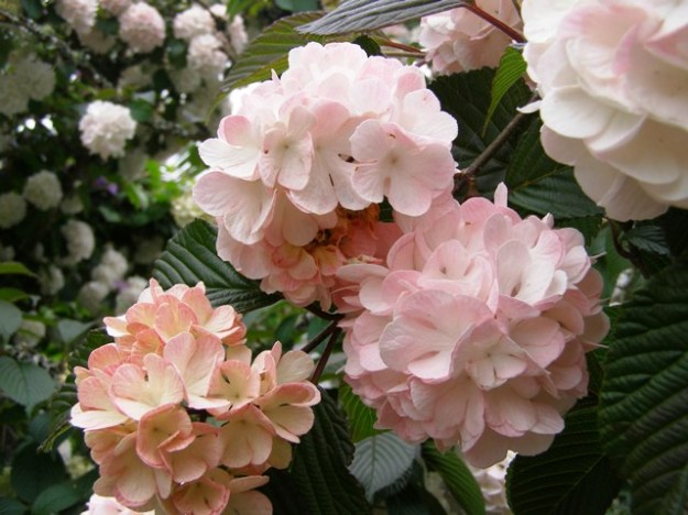 Viburnum plicatum 'Roseace' - pretty as a picture