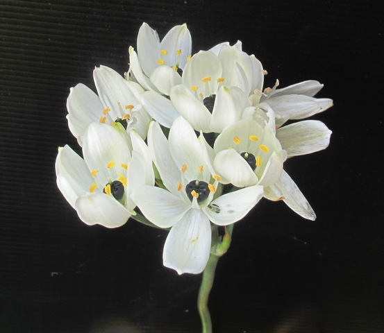The lovely Ornithogalum arabicum
