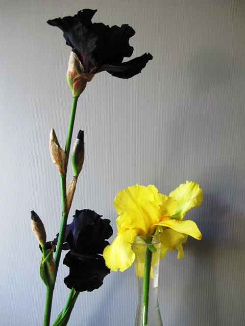 Yes that is a black iris, called 'Anvil of Darkness' no less, and an old yellow variety to the right