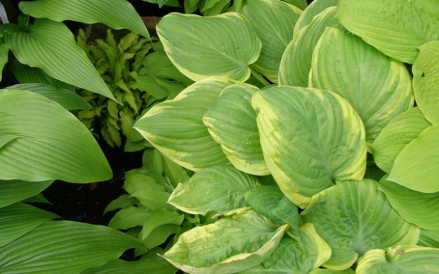 Offset variegated hostas with other plain coloured varieties for best effect