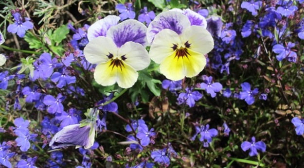 Lobelia and pansies - two choices among many quick maturing annuals