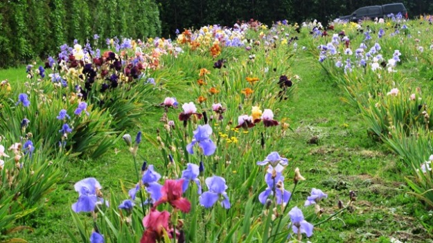 A field of irises being grown commercially