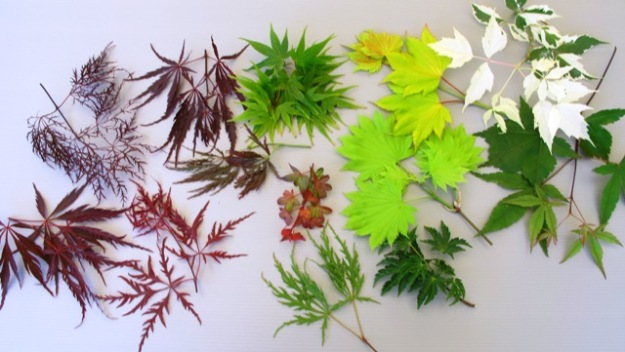 A random collection of maple leaves from around the garden