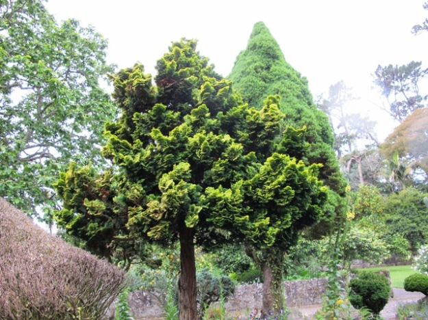 Yellow variegated conifers are redolent of the 1960s and 70s but we have retained those that add a statement to the garden landscape