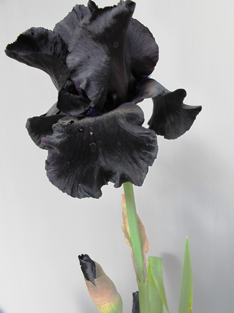 Iris 'Black Suited'