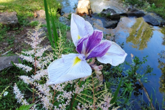 Louisiana iris are flowering by our stream