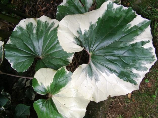 Farfugium tussilagineum argenteum looks good in shaded areas