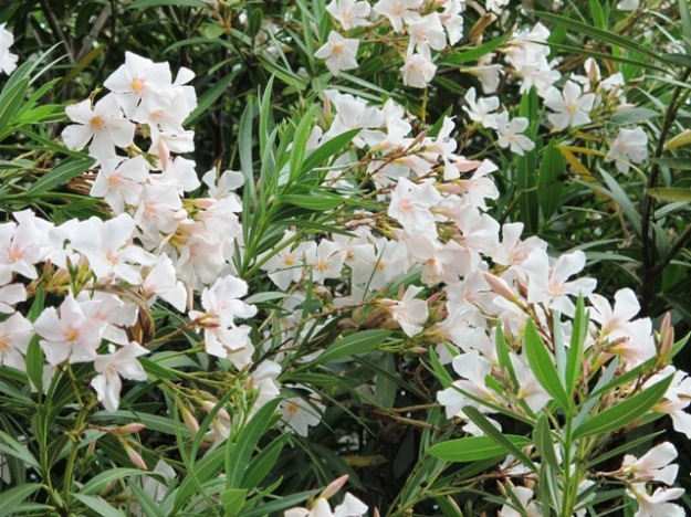 Oleanders - internationally popular for harsh growing conditions