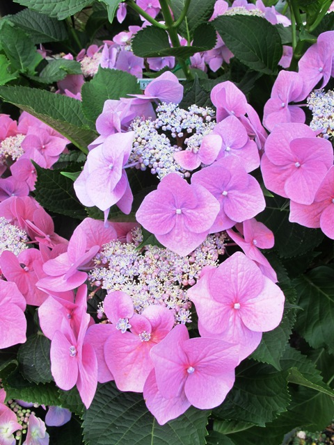 Hydrangeas - easycare plants. They are all pink in Canberra.