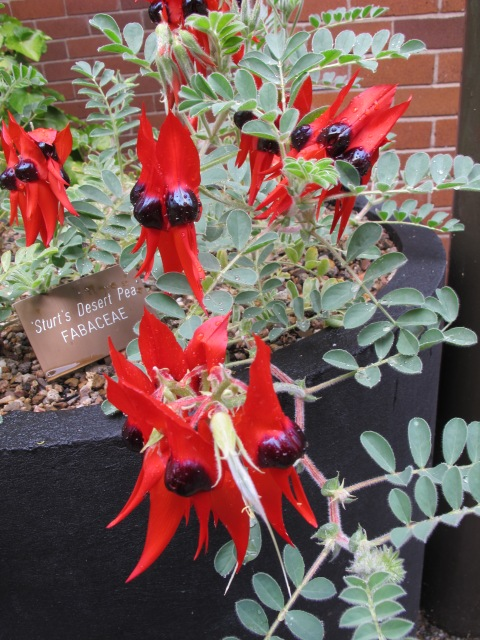 The remarkable Sturt Desert Pea or Swainsona formosa